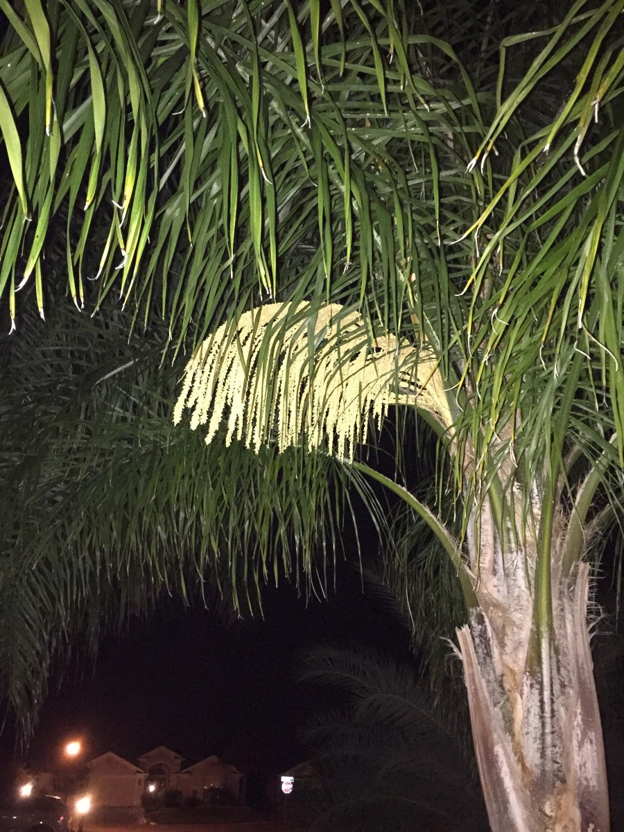 This is the inflorescence (flowering) of a Queen palm in the front yard of our former home.