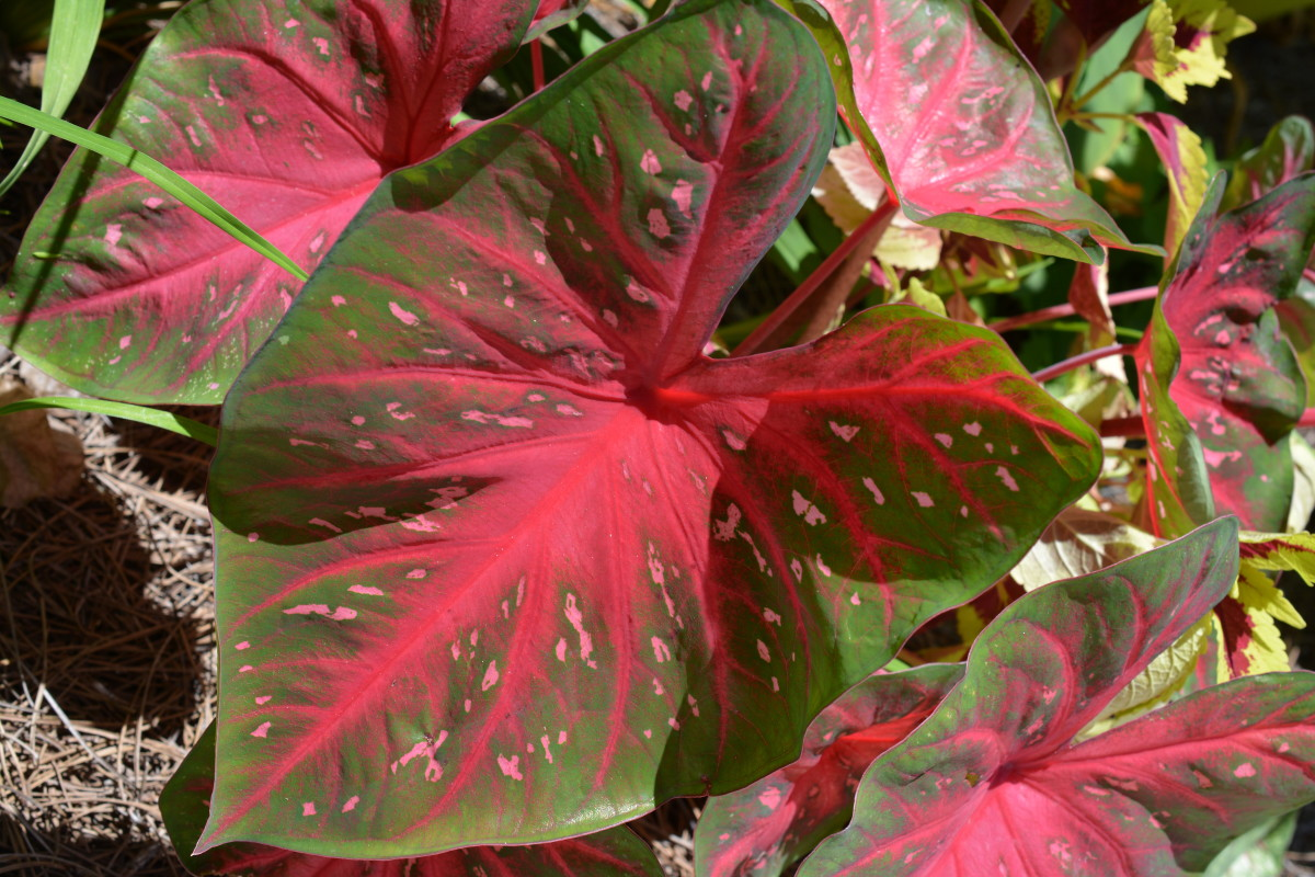 Red Flash has very large leaves, and can take more sun than many caladiums. My little 10-pound Maltese could almost sit underneath some of these leaves.