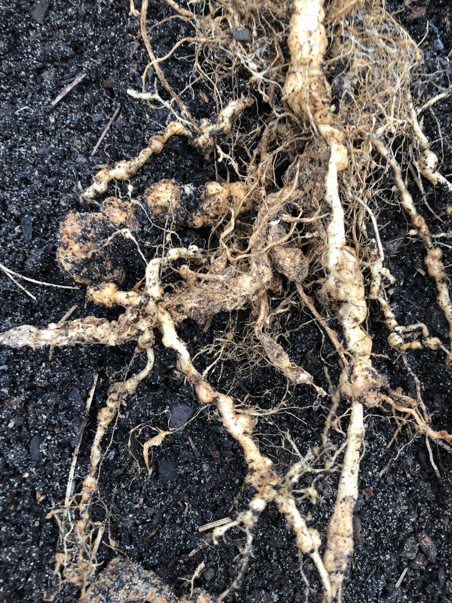This is damage to one of my tomato plants caused by root knot nematodes. See how the roots have knots in them? The nematodes cannot be seen. They are microscopic. They should be long and slender. After this experience, I grew my tomatoes in pots.