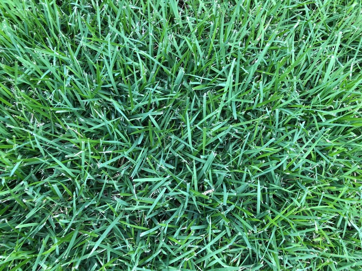 Zoysia grass in warm weather