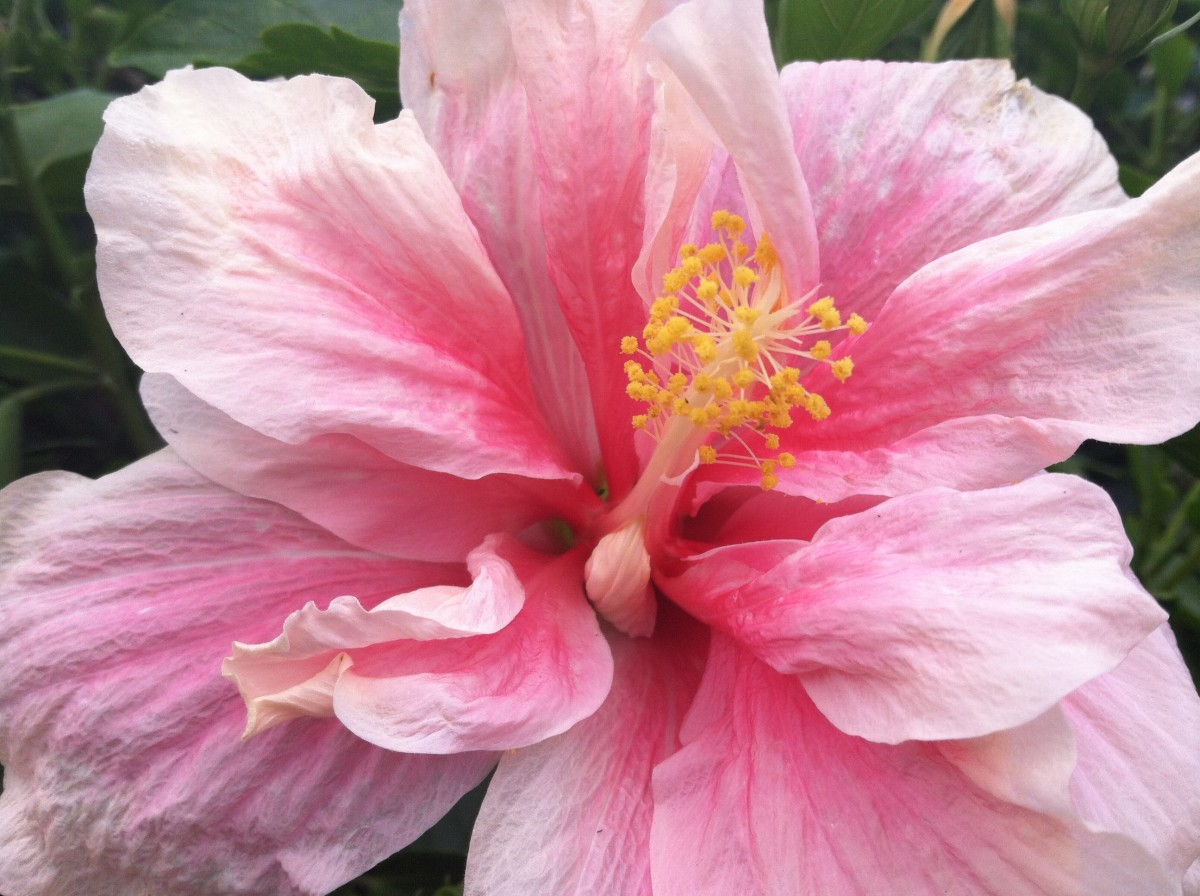This is the only double hibiscus I had, and it was my absolute favorite. Sadly, it is the one that was devoured by mealy bugs in the worst way. The first photo in this group shows a bud of this shrub.