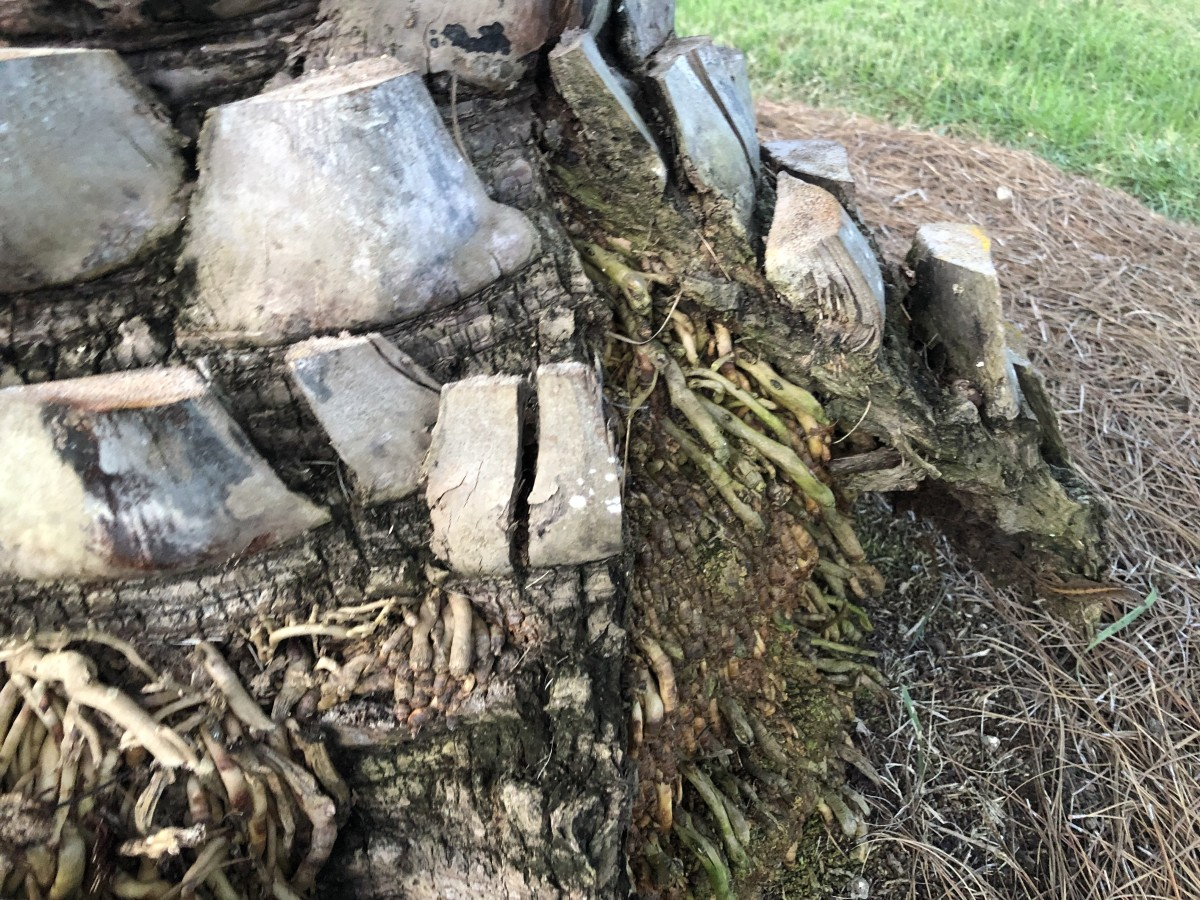 These are adventitious roots on a Sylvester palm in the front yard of our former home. Some of them will grow long enough to grow into the soil. Some will not. As they grow and spread, they cause the boots above them to flare outward, & this is fine.