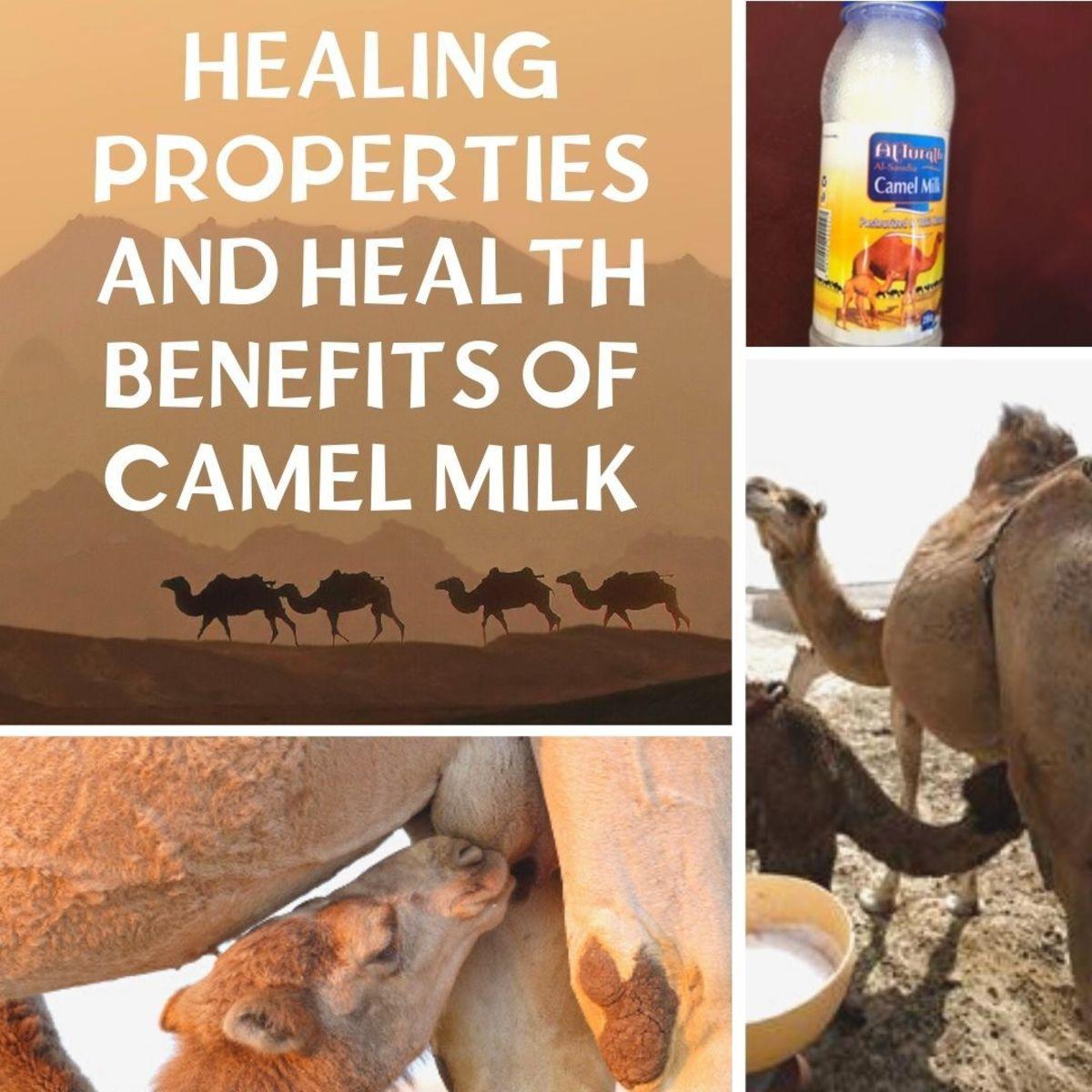 Healing Properties and Health Benefits of Camel Milk