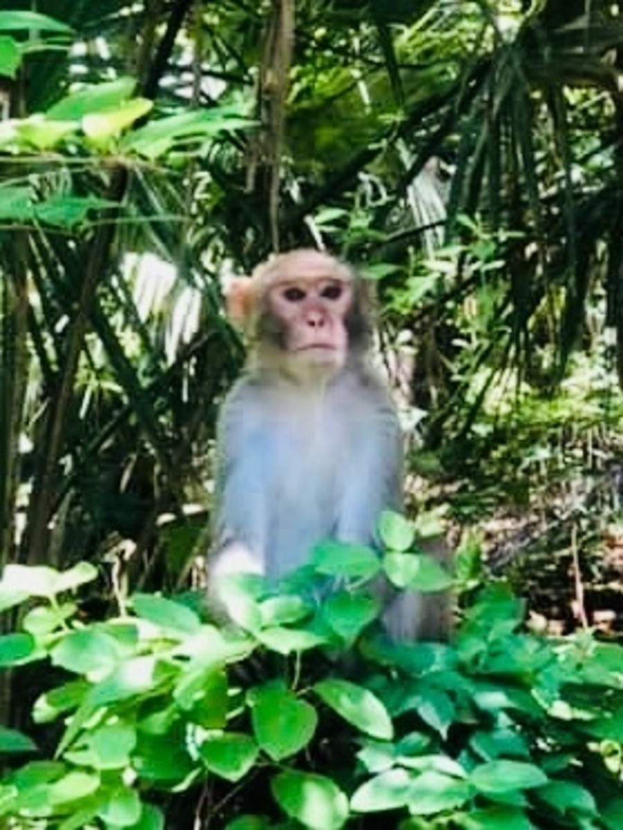 But you will only see wild monkeys at Silver Springs SP