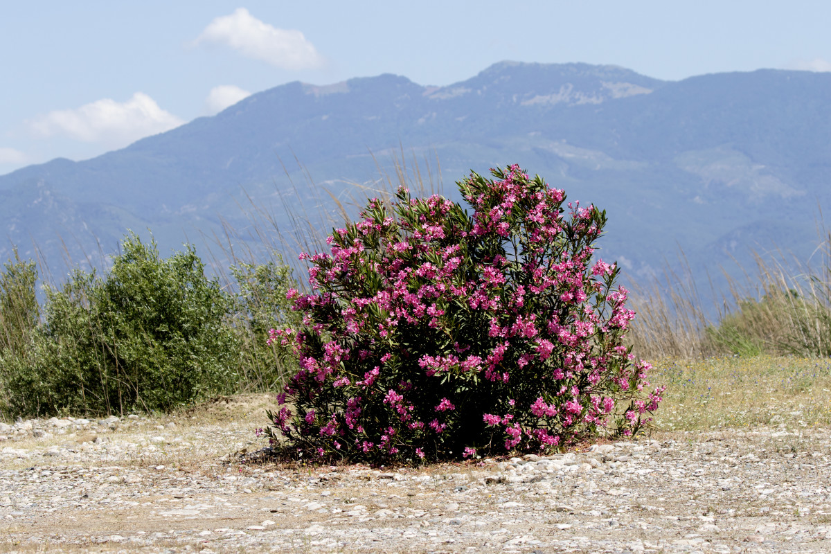 Oleander is drought and deer resistant.