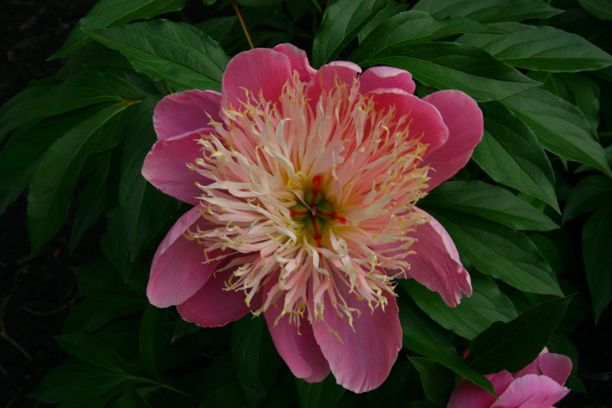 Peonies have a strong scent and woody stems that deer dislike.