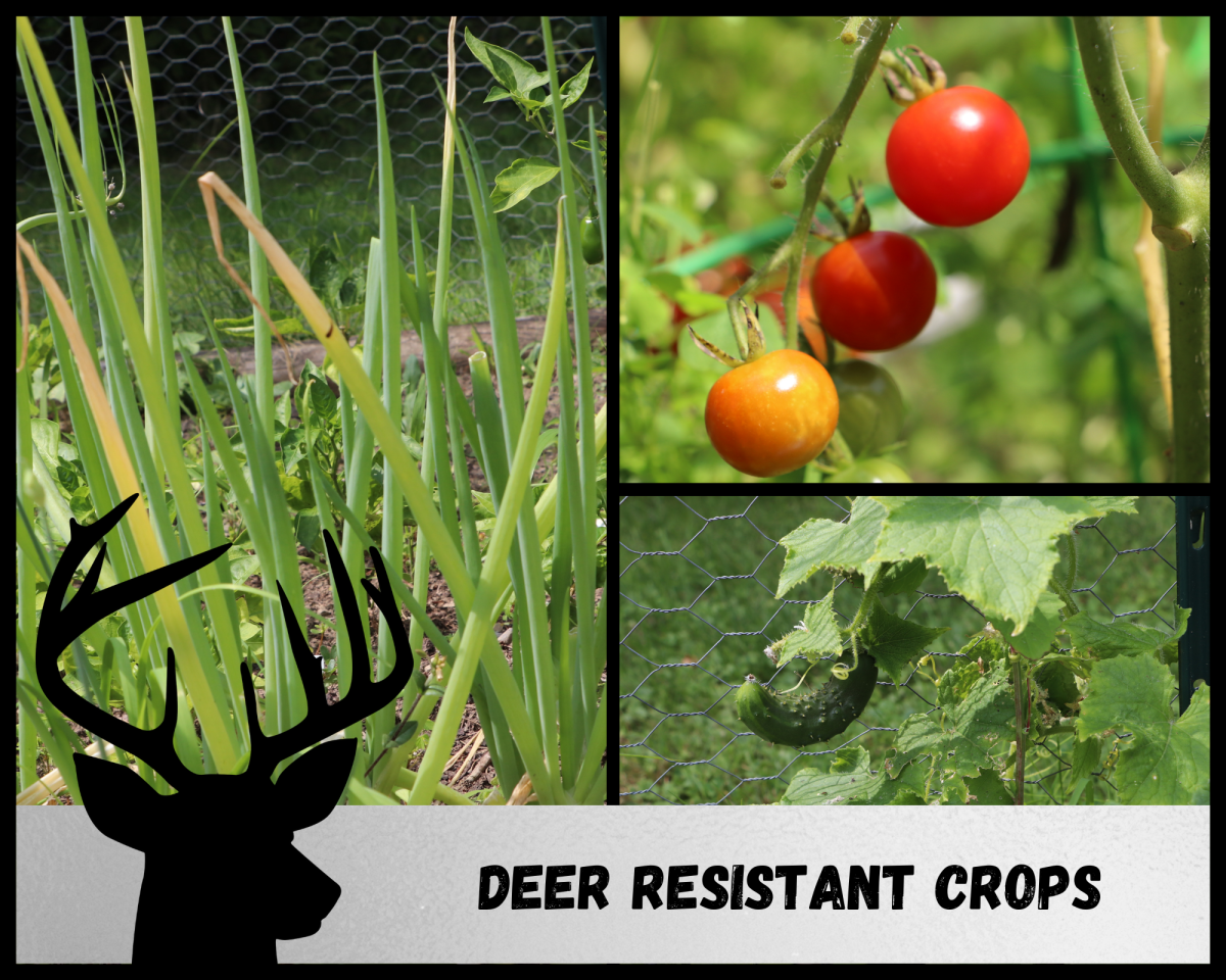Several crops are deer resistant, including onions, tomatoes, and cucumbers.