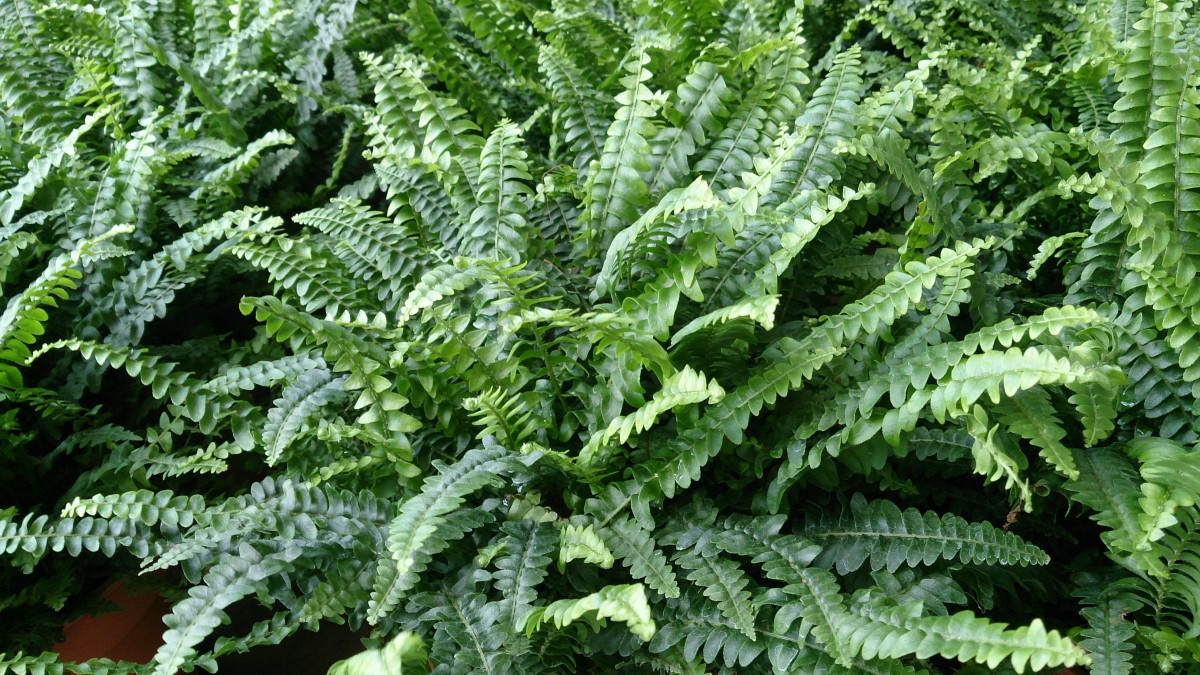 As with most ferns, Boston fern is deer-resistant.