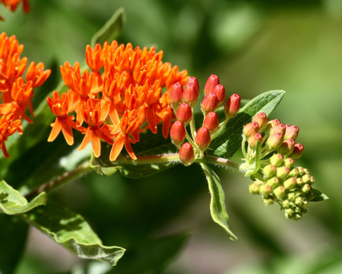 The bitter sap produced by butterfly weed is repellent to deer.