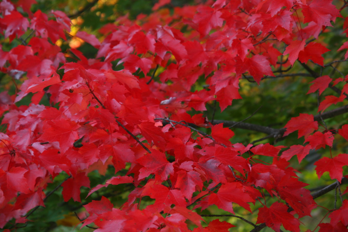 Red maple is a native tree with deer resistance.