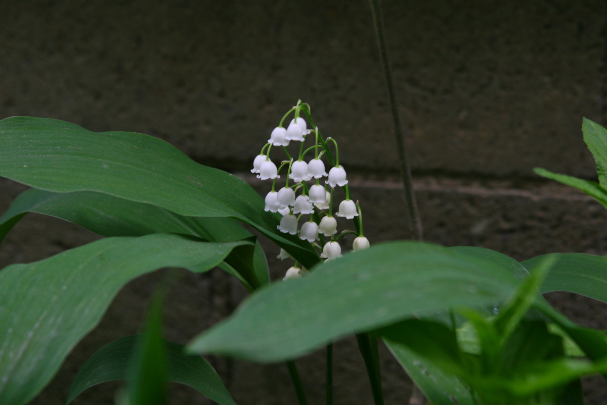 Lily of the Valley provides season-long beauty in a deer-proof yard.