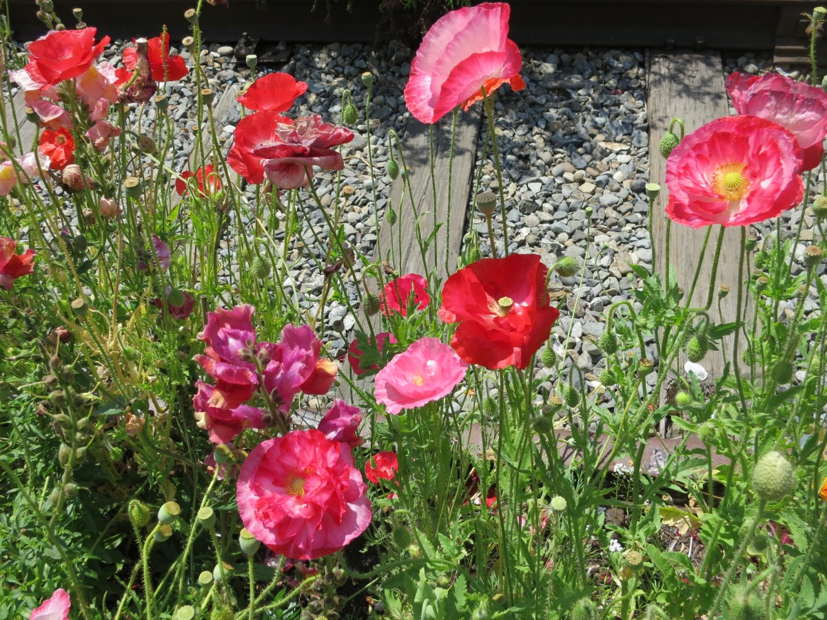 Poppies should be a part of every deer-resistant perennial garden.