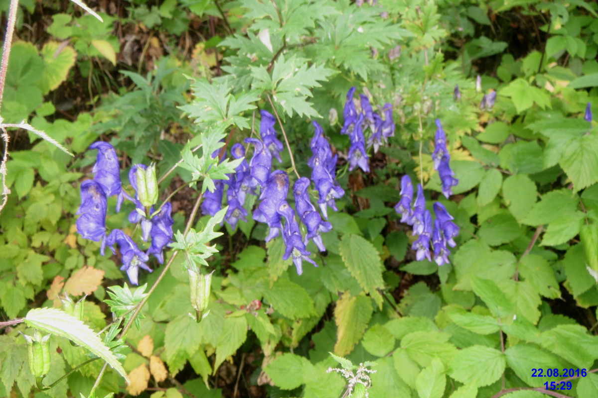 One of the most toxic plants in a shade garden, monkshood should be handled with gloves.
