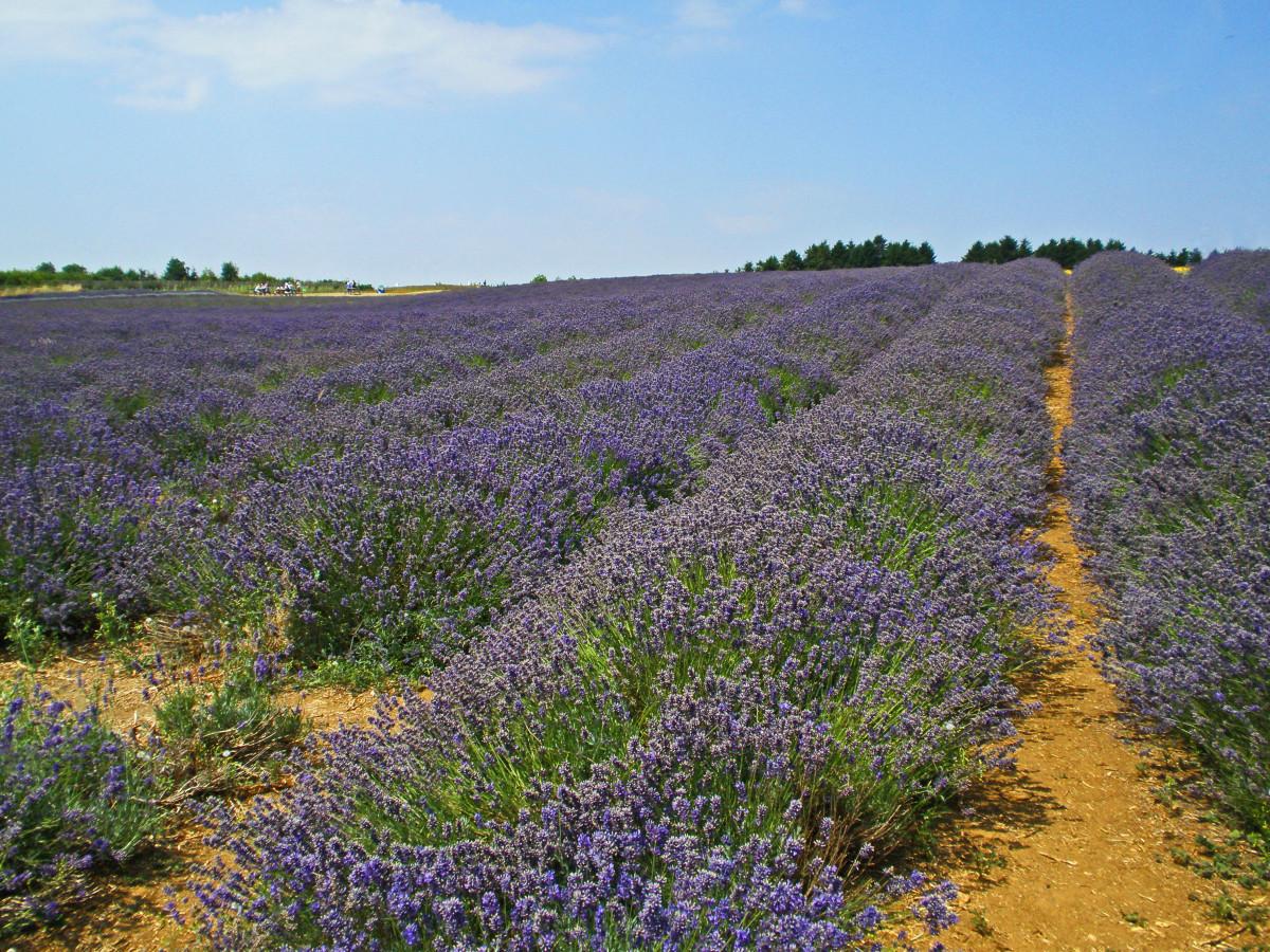 The pungent odor produced by lavender keeps deer away.