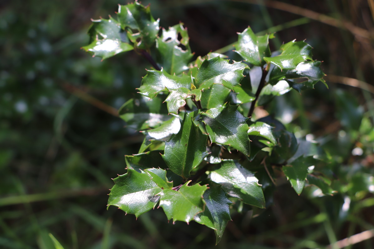 Deer generally dislike the spikes on holly leaves and will leave the plant alone.