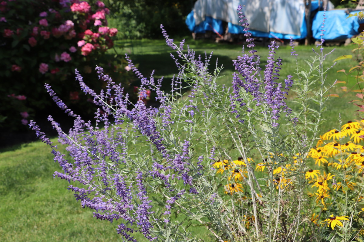 Plant Russian sage alone or in a border to help deter deer.
