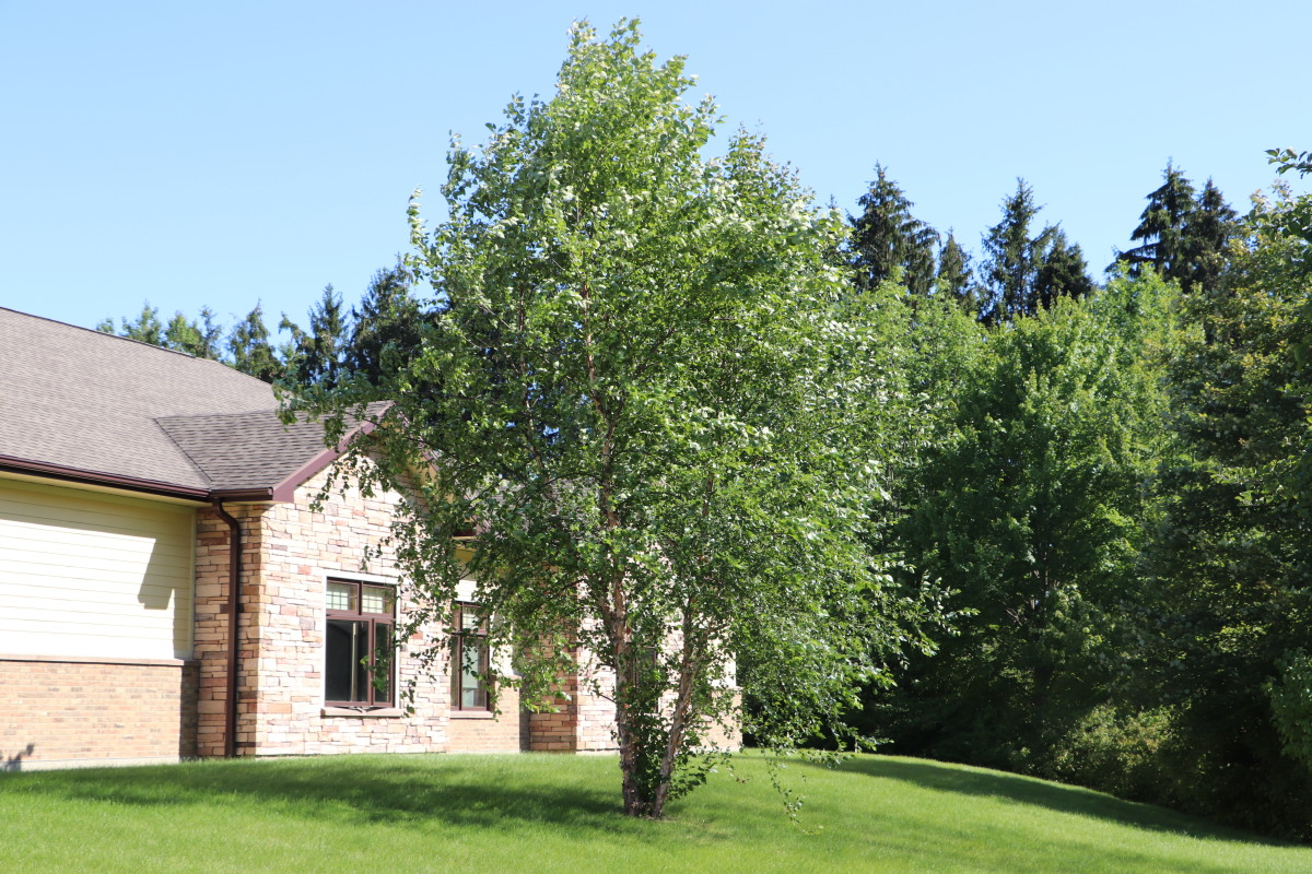 River birch is a great ornamental tree for areas with large deer herds.