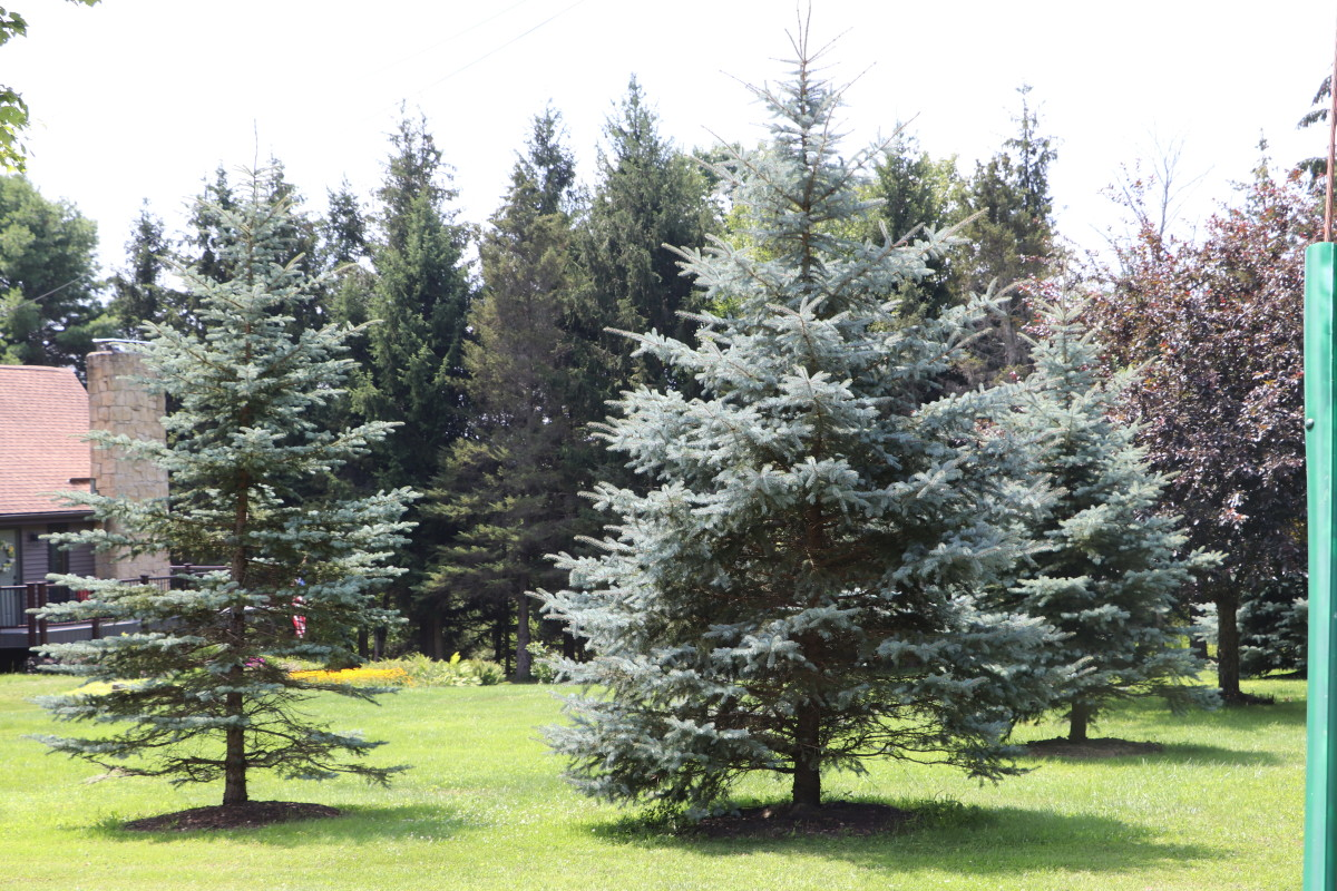 Spruce trees provide year-round beauty and are not eaten by deer.