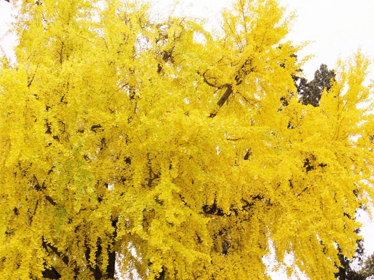 Plant male ginkgo biloba trees as a deer-proof tree.