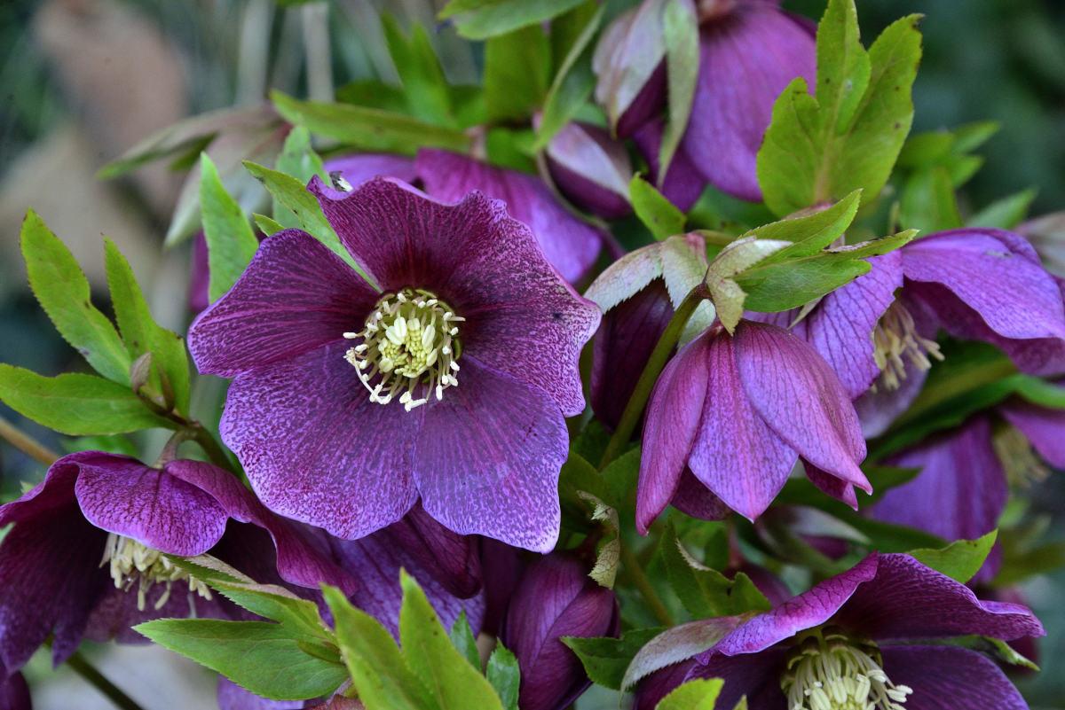 Lenten rose, or hellebore, blooms early and is not eaten by deer.