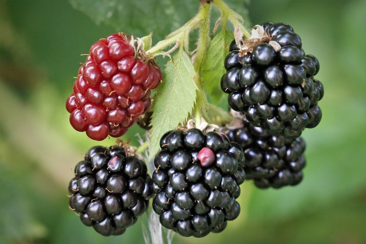 Health Benefits of Blackberry