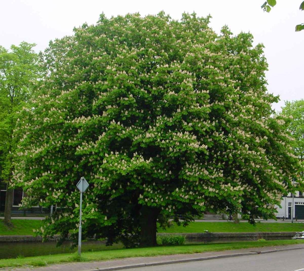 Horse chestnut tree.