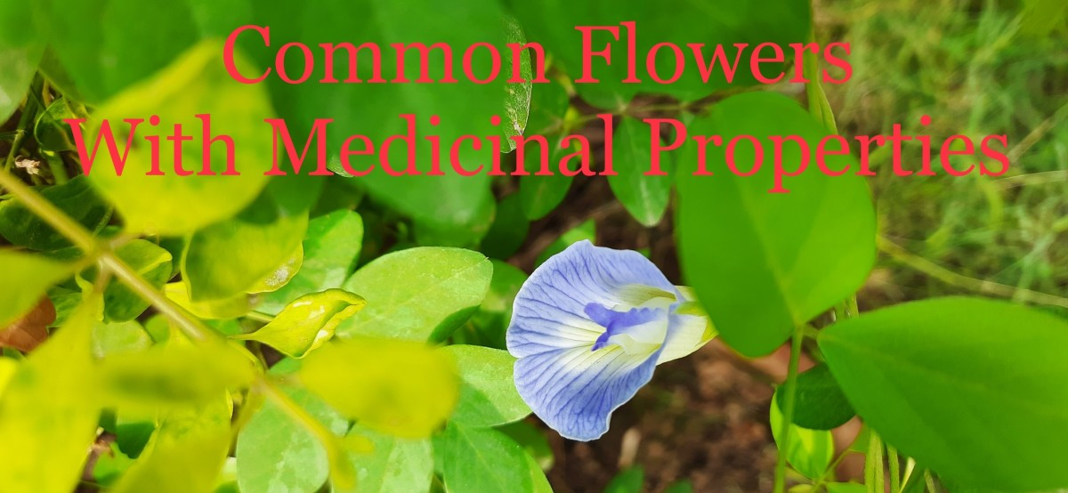 Common Flowers with medicinal properties: Asian Pigeon Wings flower