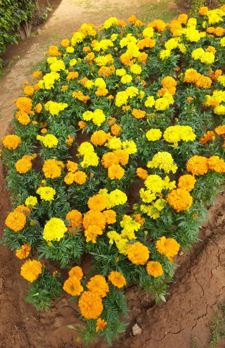 Marigold flowers have medicinal properties