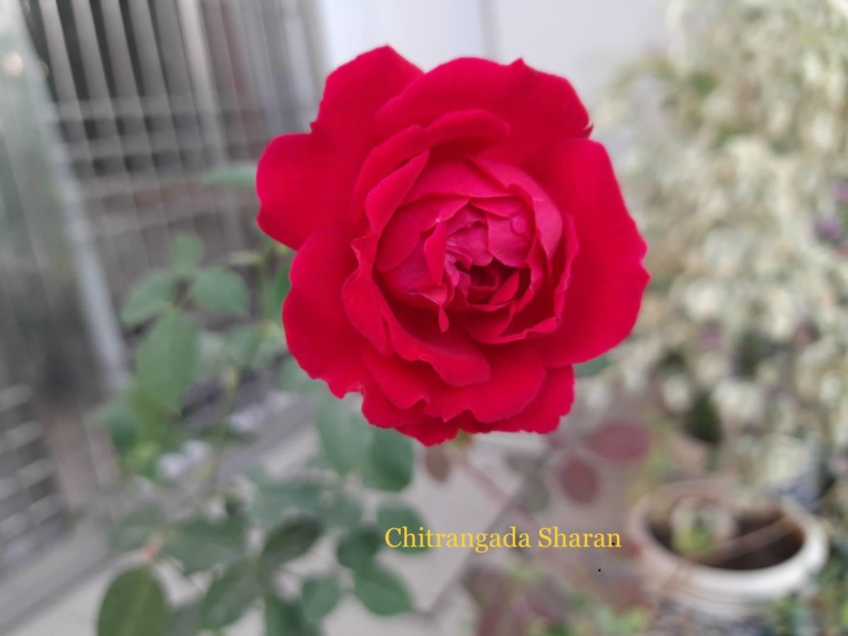 Rose flower has medicinal properties
