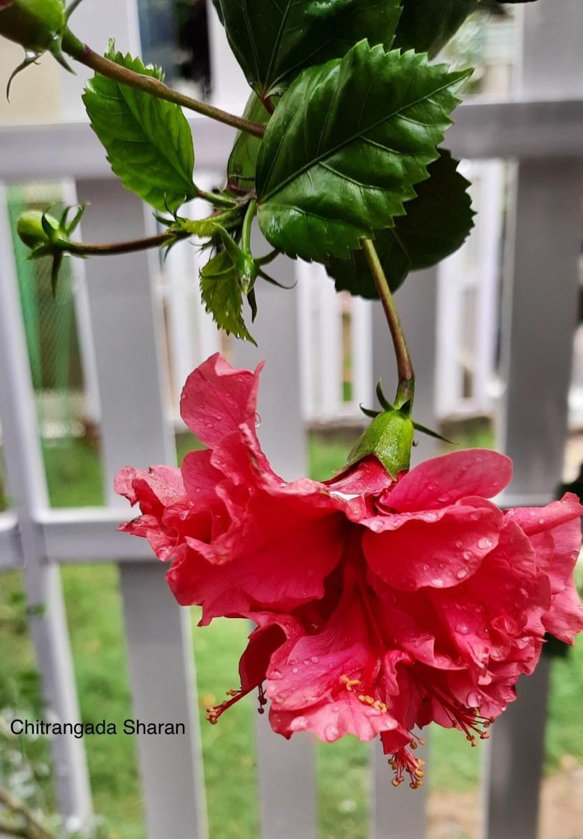 Hibiscus flower has medicinal properties