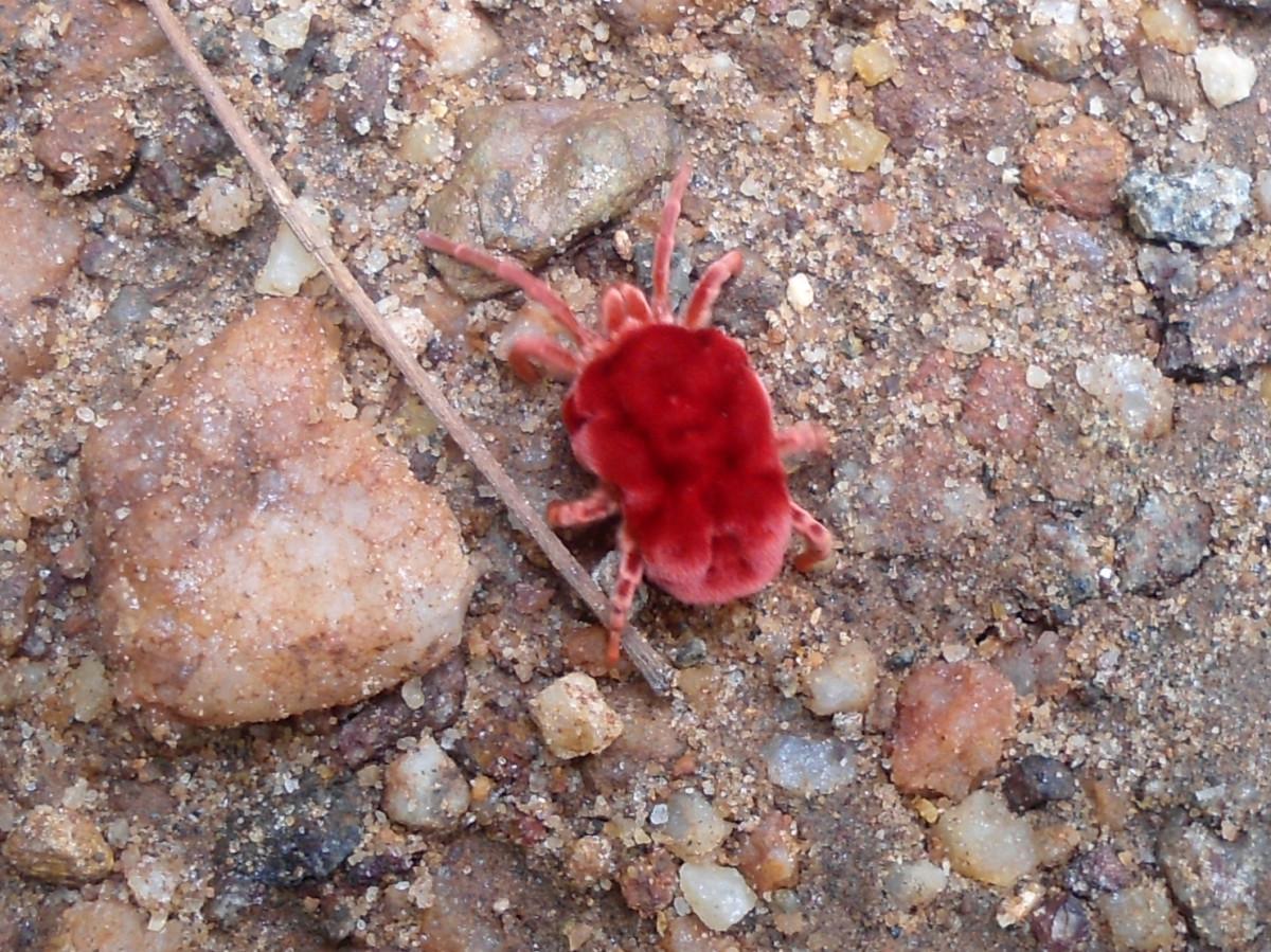 Red Velvet Mite (Trombidium) spotted at Kambalakonda Wildlife Sanctuary, Visakhapatnam