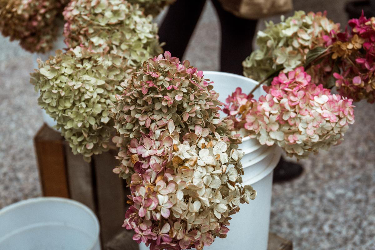 Learn how to preserve hydrangeas so you can enjoy their beauty all year long.