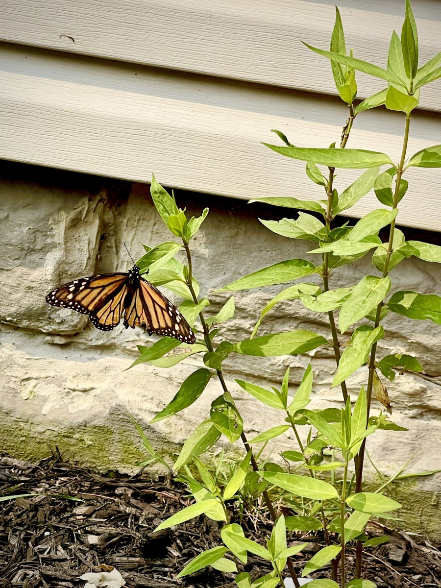 A Monarch butterfly visiting a young swamp milkweed plant.