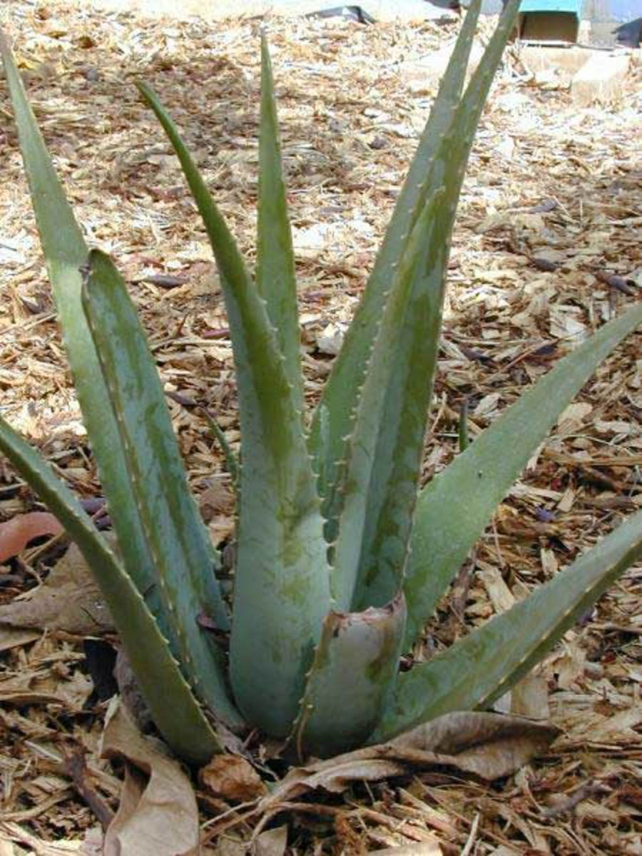 The Barbadensis Miller variety of aloe vera