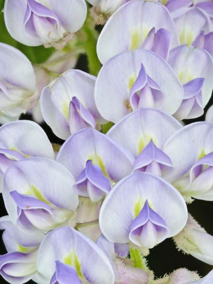 How to grow Wisteria the flowers.