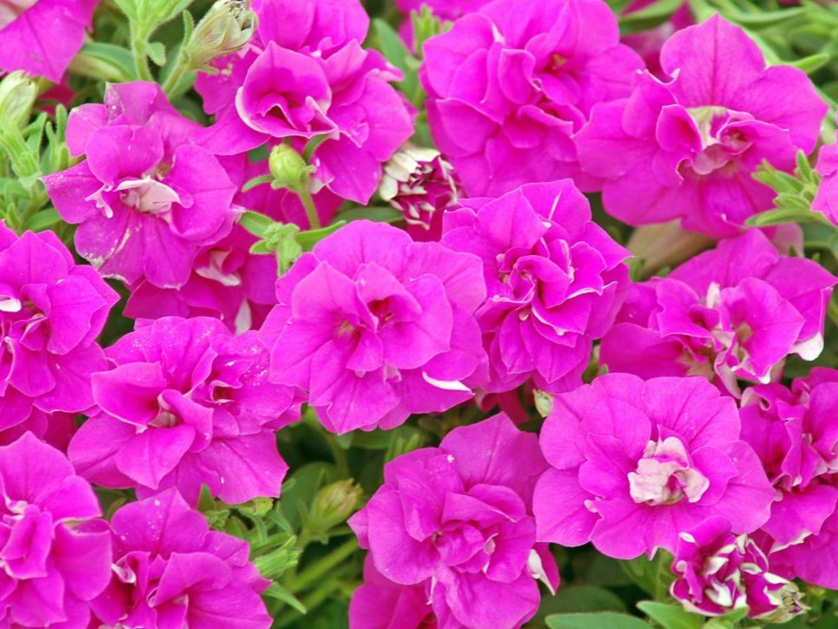The summer double rose about this fuchsia-pink double petunia. It's a trailer with good resistance to wind, rain and humidity.