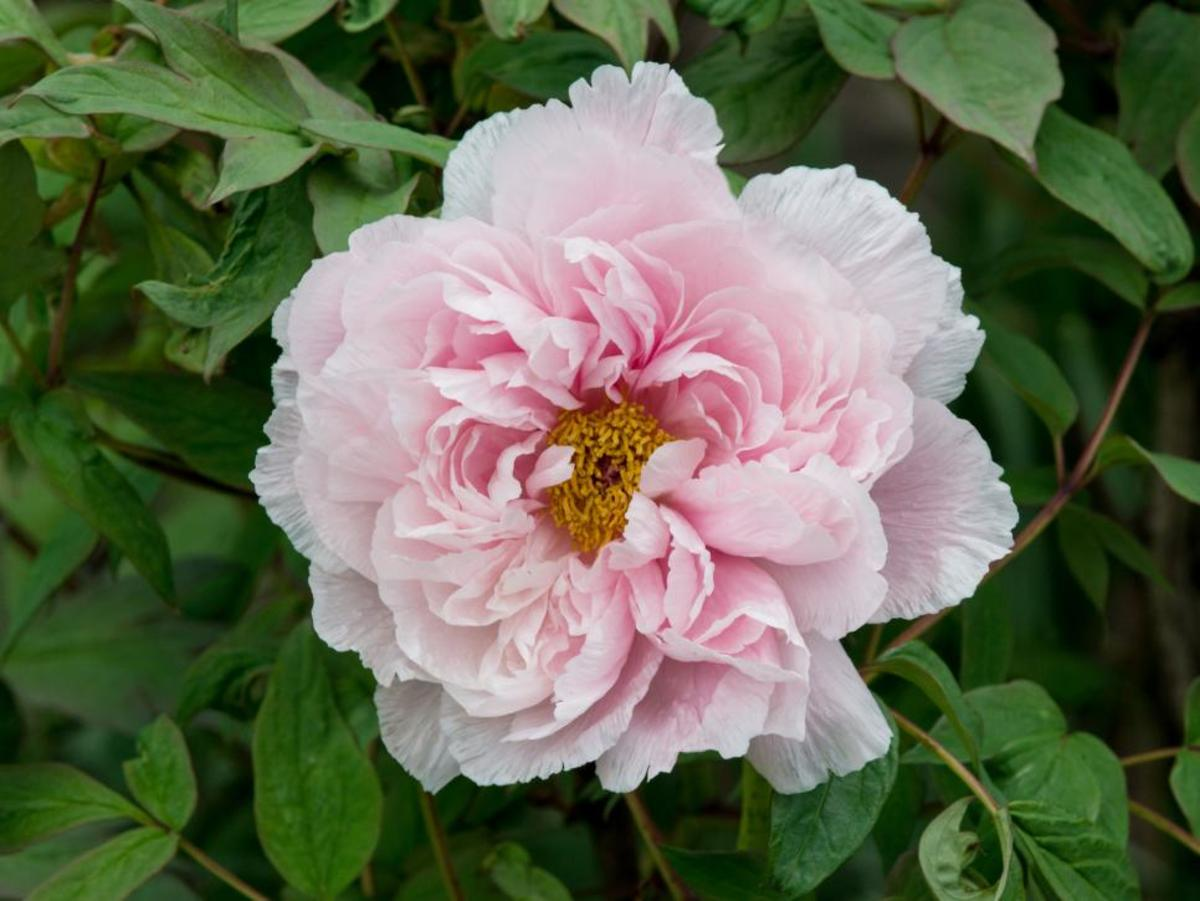 This spectacular heirloom peony (Paeonia suffruticosa) graces the grounds of the Biltmore Estate's Walled Garden.