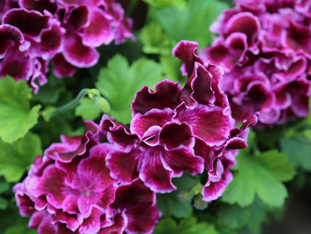 Even though the most popular geraniums are annuals, you can save them over winter with minimal effort. Just bring them inside before fall frost and replant outside in spring. These are some of the most popular types of geraniums.