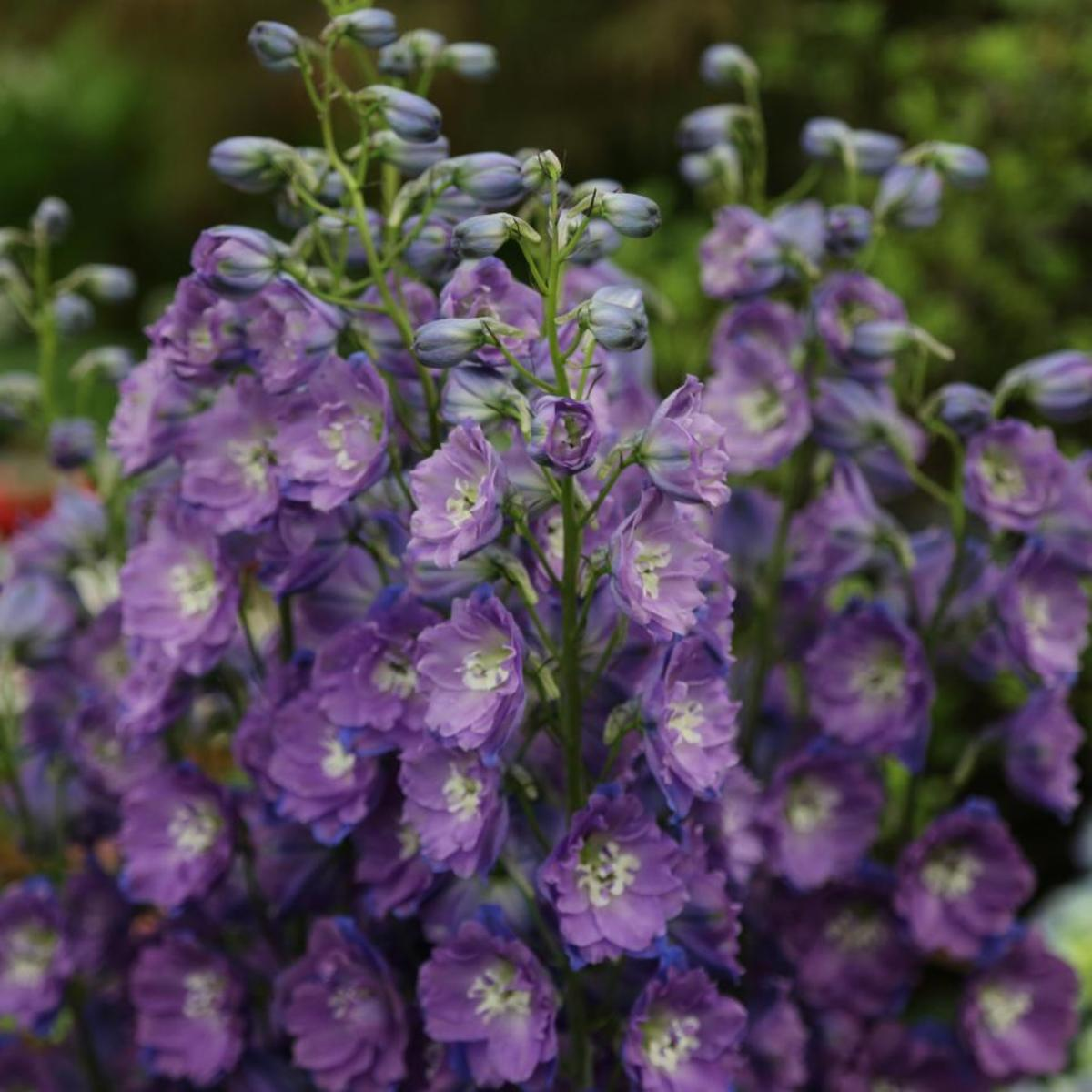 How to plant, grow and care for Delphinium?