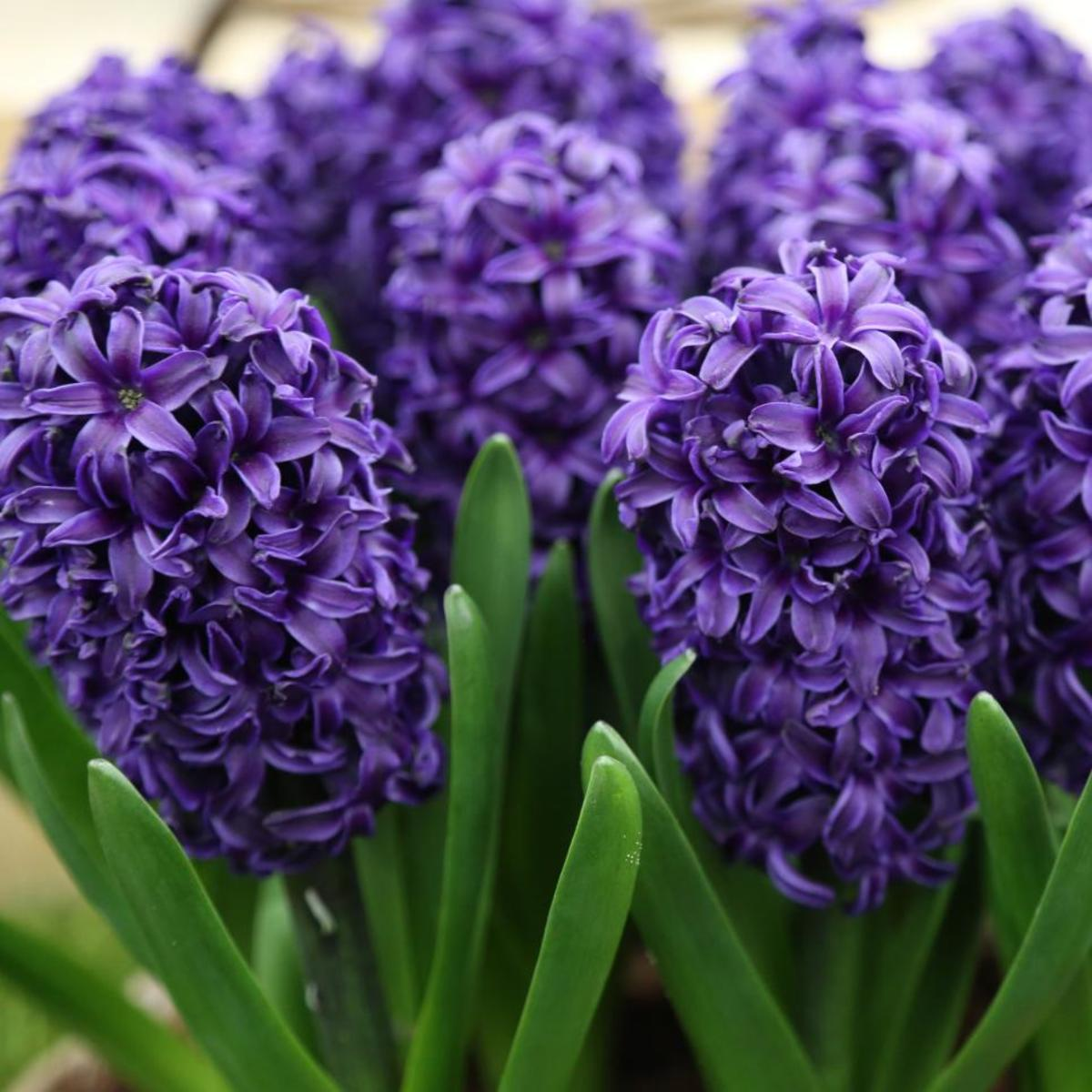 Hyacinths are perennials, so you can plant them once and they'll come back every spring. Hyacinths are easier to grow than other spring bulbs.