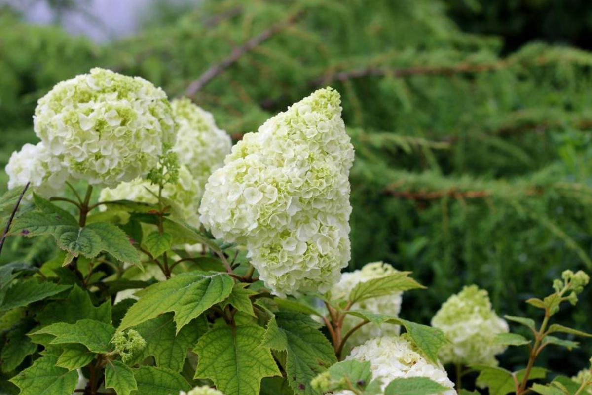 Hydrangea quercifolia beautiful white and the are the like green flowers.