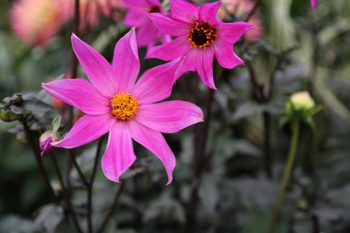 Keep your garden, pots and containers looking fabulous right into the autumn with dahlias. These amazing garden plants repeat flower, look amazing, are easy to grow and will produce masses of cut flowers for the house too.