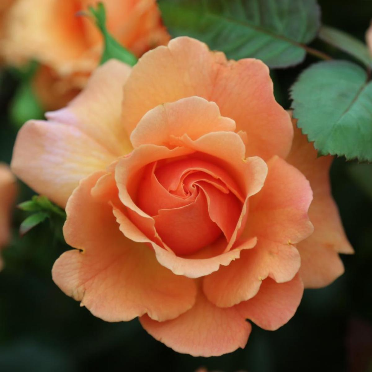 This beautiful rose hails from the Harkness family in England and is easy to grow.