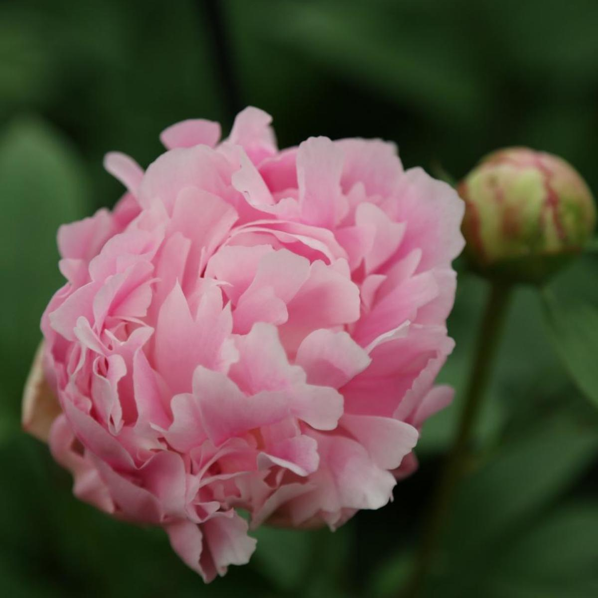 The Catherina Fontijin peony is a soft pink variety with rosette shaped flowers that fade to white pink with age.