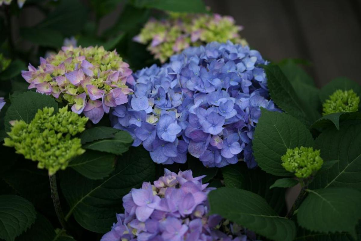 This beautiful hydrangea flowering shrub can add color and abundance to your garden.
