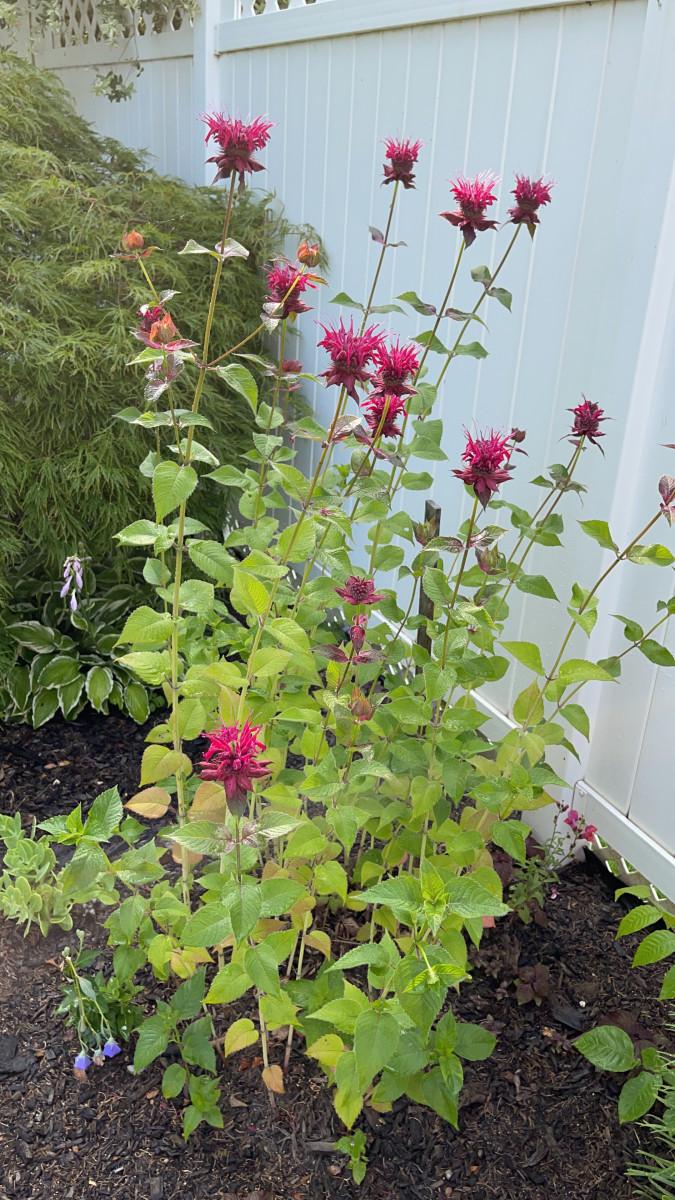 Bee balm growing in my in-laws' garden.