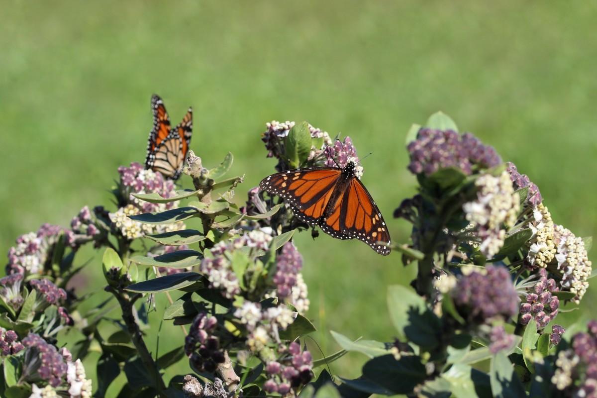 Monarch butterflies lay their eggs on milkweed plants.
