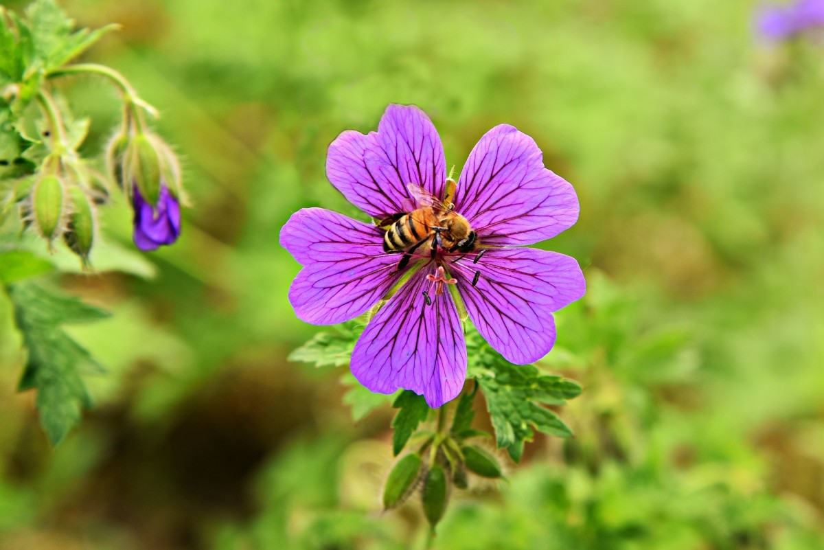 Pollinators, such as bees, love wild geraniums.