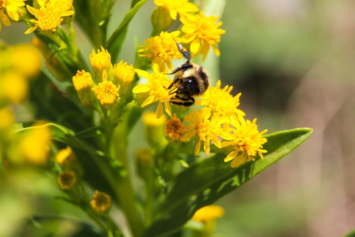 A bumblebee enjoying a blooming goldenrod.