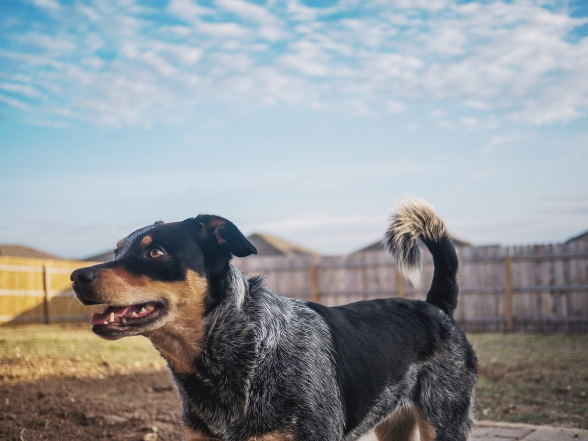 Australian Blue Heeler Cattle Dog